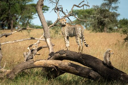 Cheetah standing on dead branch with cubs