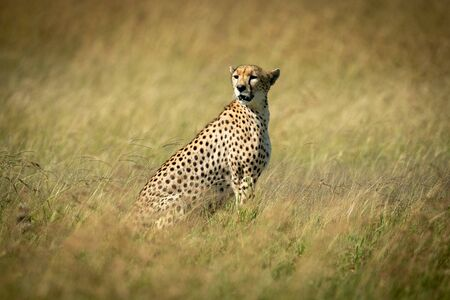Cheetah sits looking round in tall grass