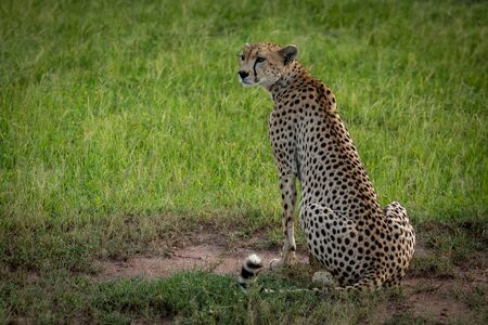 Cheetah sits on dirt patch in grassland
