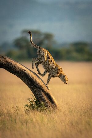 Cheetah runs down bent tree in grassland