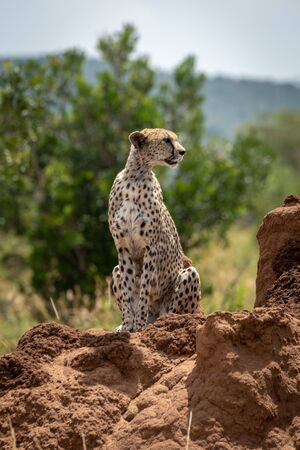 Cheetah sits near trees on termite mound