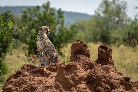 Cheetah sits on termite mound staring right Stock Photo