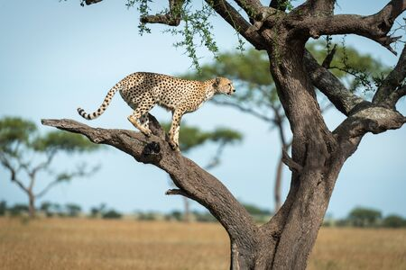 Cheetah stands on bare branch in profile Stock Photo