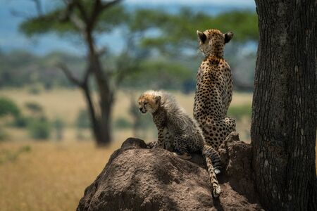 Cheetah sits with cub on termite mound