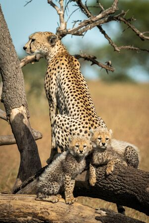 Cheetah sits by two cubs on fallen branches