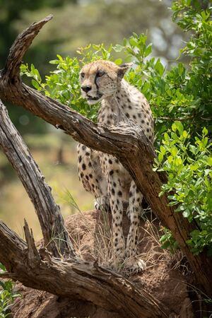 Cheetah sits on termite mound behind branches Stock Photo