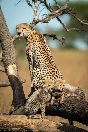 Cheetah sits on dead branches beside two cubs