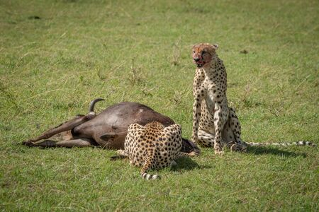 Cheetah sits guarding wildebeest as another feeds