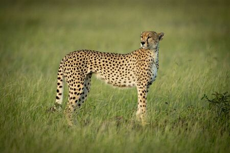 Cheetah stands looking round in long grass Stock Photo