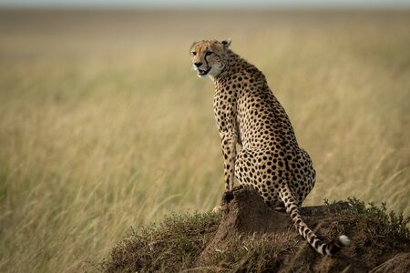 Cheetah sits on termite mound looking back