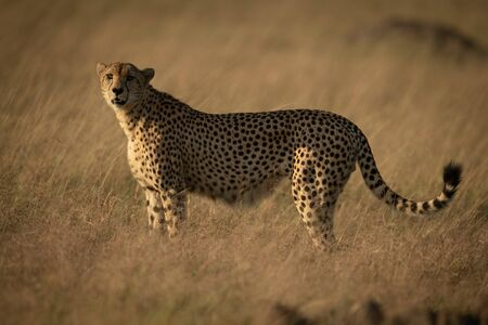 Cheetah stands in long grass eyeing camera