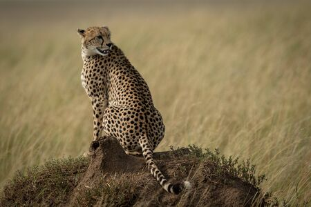 Cheetah sitting on termite mound turning back Stock Photo