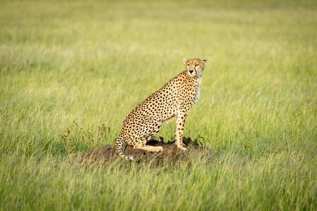 Cheetah sits on termite mound in grass