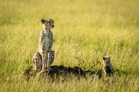 Cheetah sits on termite mound with cubs Stock Photo