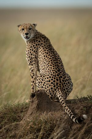 Cheetah sits on termite mound turning back