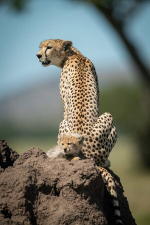 Cheetah sits on termite mound by cub