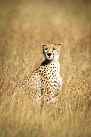 Cheetah sits in tall grass looking round