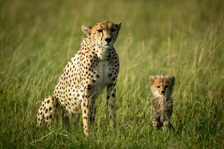 Cheetah sits in tall grass with cub