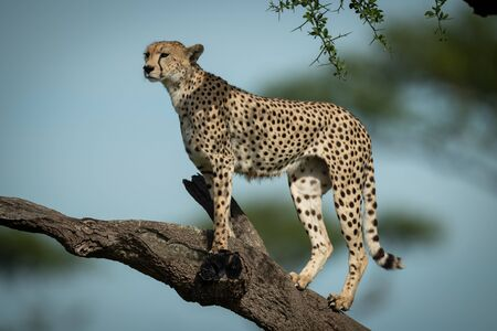 Cheetah stands on bare branch facing left