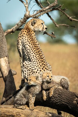 Cheetah sitting beside two cubs on dead branches Stock Photo