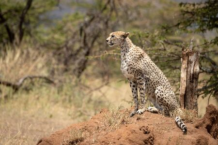 Cheetah sits by acacias on termite mound