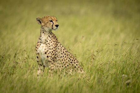 Cheetah sits in long grass turning head Stock Photo