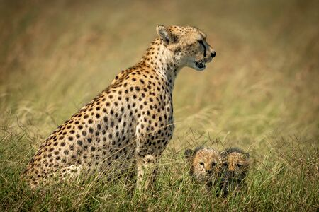 Cheetah sits with two cubs in grass Stock Photo