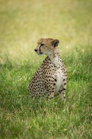 Cheetah sits in tall grass turning head