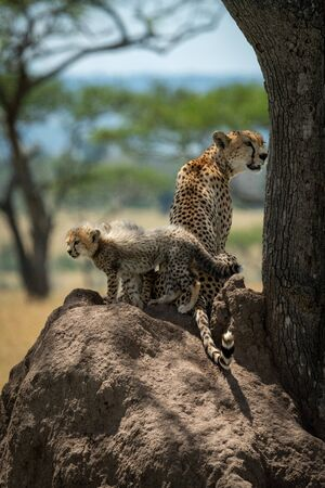 Cheetah sits guarding cubs on termite mound Stock Photo