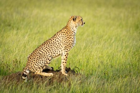 Cheetah sits in profile on termite mound