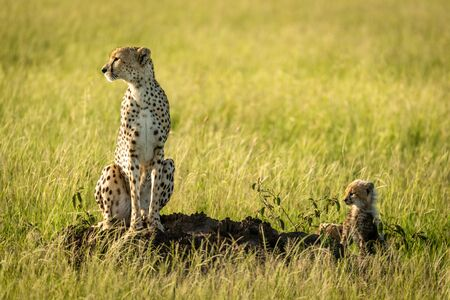 Cheetah sitting on termite mound with cubs