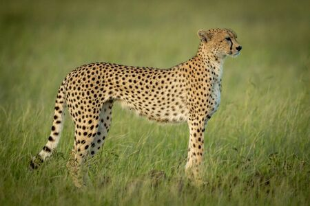 Cheetah stands in profile in long grass
