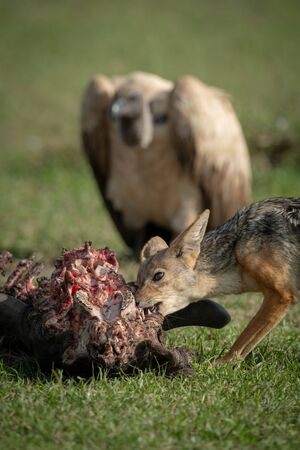 Close-up of black-backed jackal watched by vulture