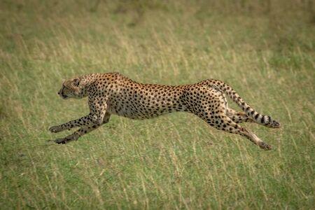 Cheetah stretches legs running at full speed