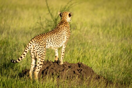Cheetah stands on termite mound facing away Stock Photo