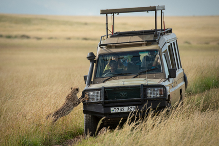 Cheetah cub starts to climb onto truck