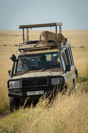 Cheetah cub starts to climb off truck Editorial