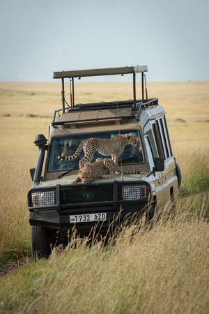 Cheetah cubs stand and lie on truck