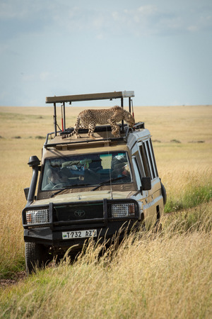 Cheetah cub stands on safari truck roof Editorial