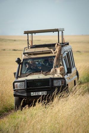 Cheetah cubs lie and stand on bonnet