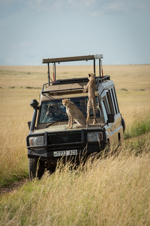 Cheetah cubs sitting and climbing on truck Editorial