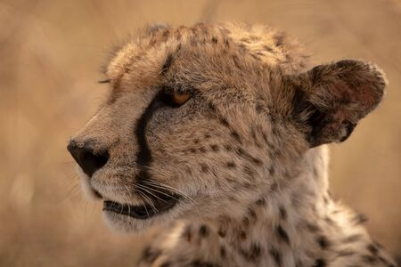 Close-up of female cheetah head turning left Stock Photo