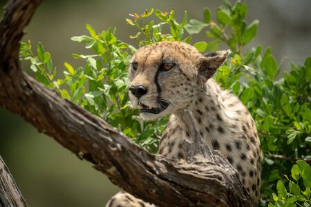 Close-up of cheetah sitting in bush staring Stock Photo