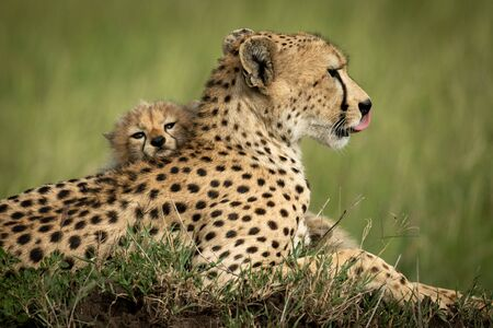 Close-up of cub lying head on cheetah Stock Photo