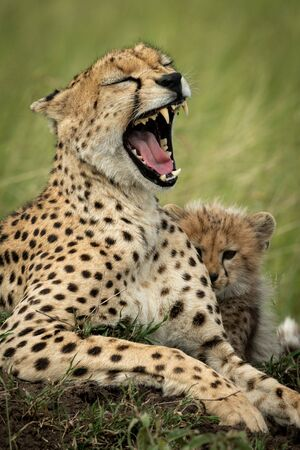 Close-up of cheetah lying yawning by cub Stock Photo