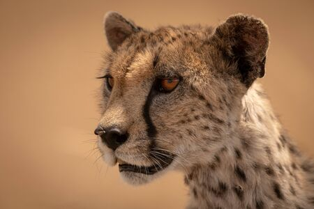 Close-up of female cheetah head and neck