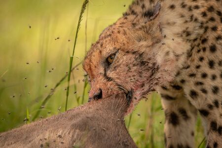Close-up of cheetah pulling at wildebeest carcase