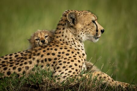 Close-up of cub resting head on cheetah