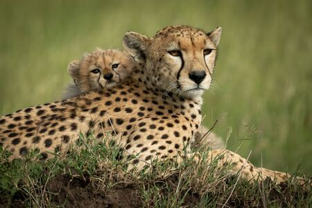 Close-up of cub on back of cheetah Stock Photo