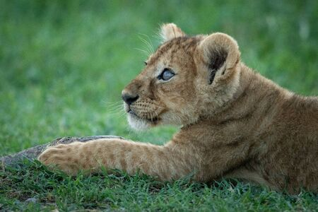 Close-up of lion cub lying looking up
